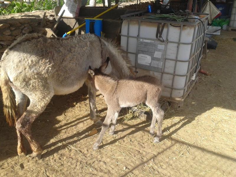 burro-casas-rurales-fuerteventura